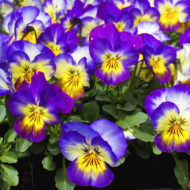 purple-flowers-image_zJUfGwtu
